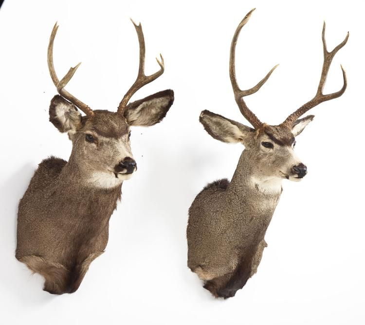 Pair of Mule Deer Shoulder Mounts