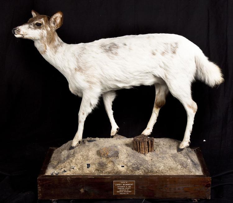 Whitetail Deer Full Body Mount on Faux Rock Base