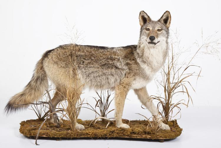 Coyote Full Body Mount on Base