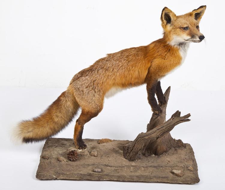 Red Fox Full Body Mount on Faux Rock Base