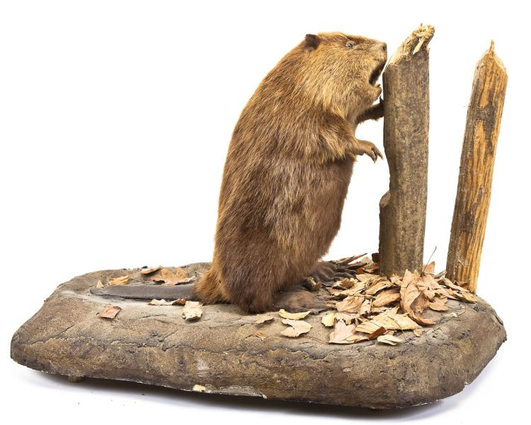 Beaver Full Body Mount on Faux Rock Base