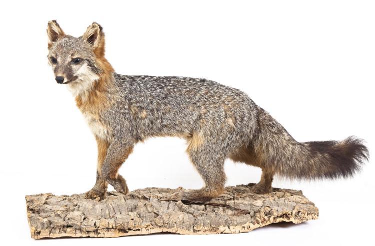 Gray Fox Full Body Mount on Faux Rock Base