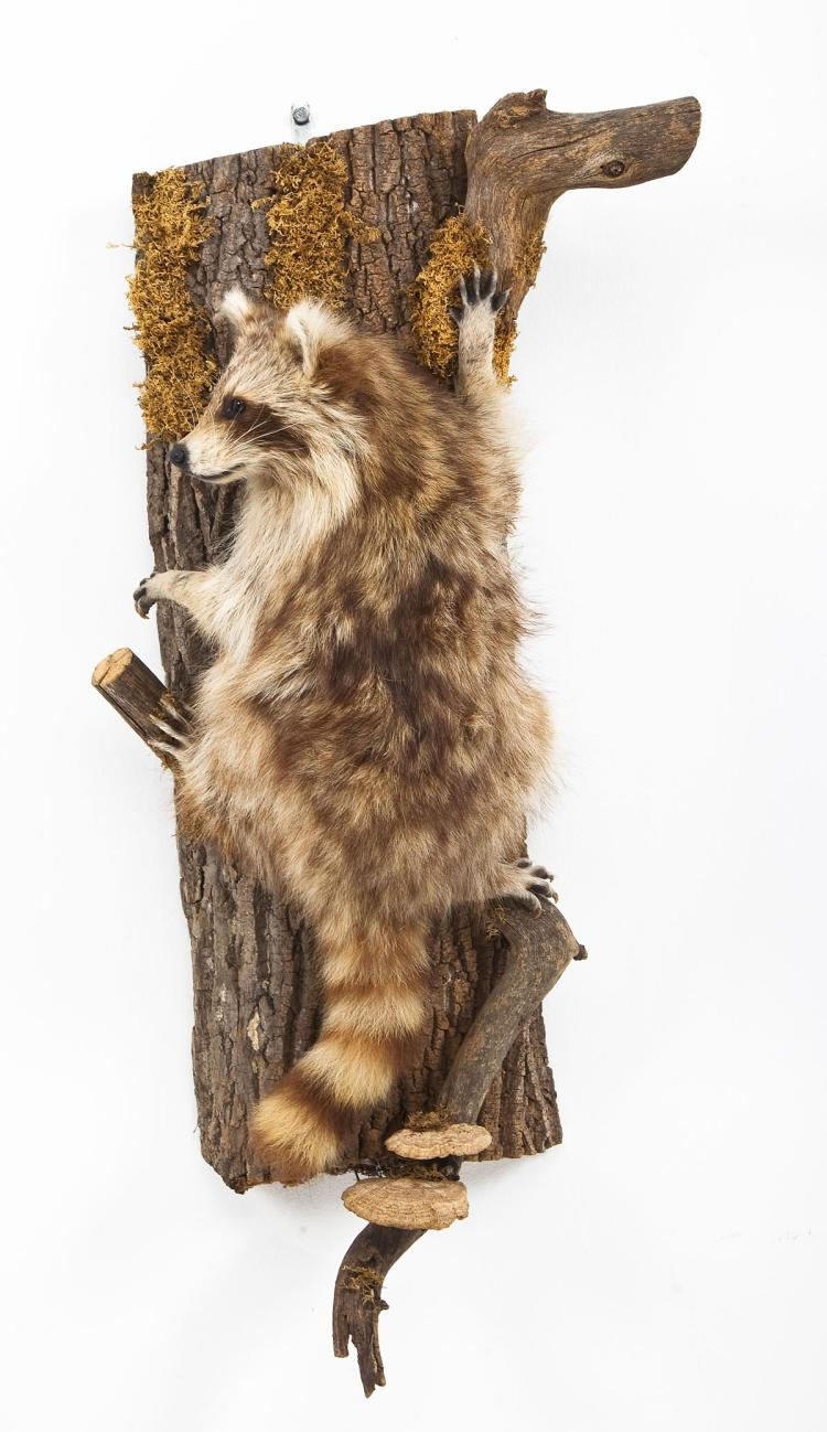 Raccoon Full Body Mount on Vertical Bark Base