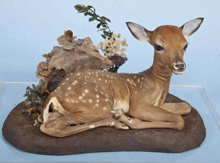 Baby Whitetail Deer Mount Under Plexiglas