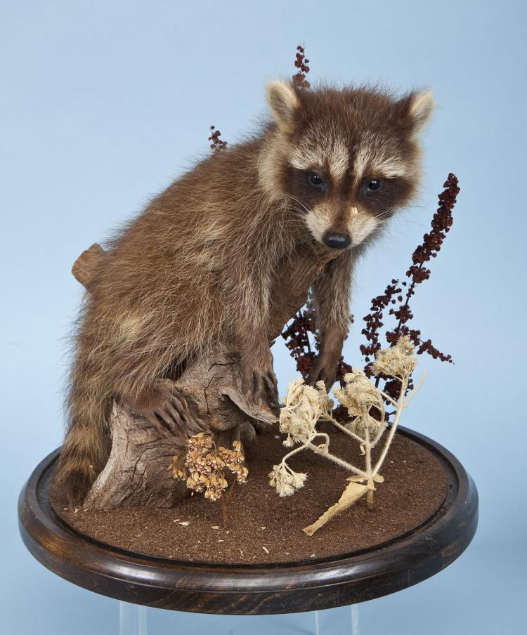 Baby Raccoon Full Body Mount Under Glass