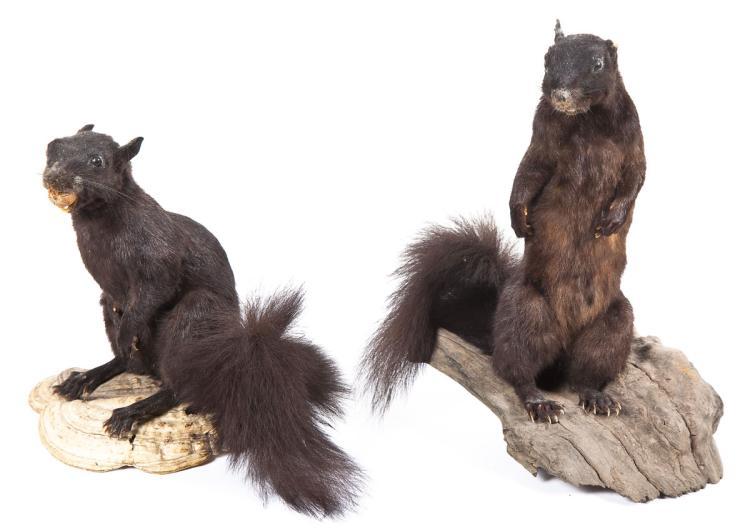 Pair of Black Squirrel Full Body Mounts