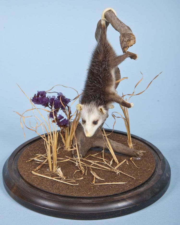 Baby Opossum Full Body Mount Under Glass