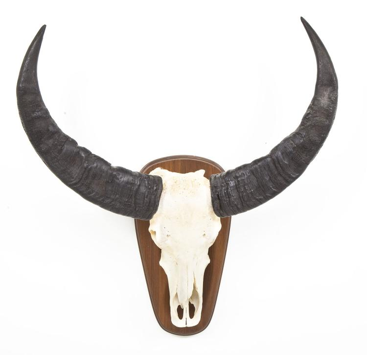 Water Buffalo European Mount