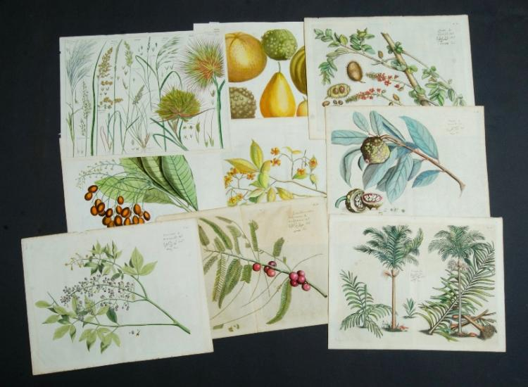 Qty 17th C Botanical Prints. Incl. 8 by H.A. Van Rheede tot Draakestein from Hortus Indicus Malbaricus c1678; & also 8 other similar.Hand Coloured Copper Engraving (16)36x43cm (average)