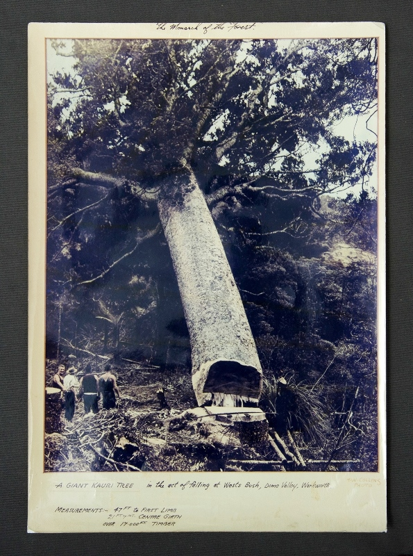 T W Collins, New Zealand Photo. 'The Monarch of the Forest, a Giant Kauri Tree, in the act of falling at West's Bush, Dome Valley, Warkworth.' Early tinted or Dufaycolor Photo 42x30cm
