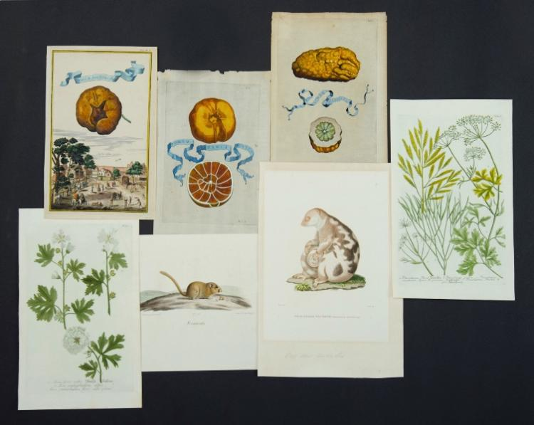Var Early Botanical & Faunal Prints.  Incl. Phalanger Tachete by A. PREVOST. From Atlas Zoologique which accompanied Voyage Antour de Monde by Saulces & Freycinet, Paris c1820; 11 botanical prints by Weinmann, c1745; 3 German fruit prints, 1708; Night Heron by Prideaux Selby c1830; & Grislea Tomentosa.Coloured Engraving (15) & Litho (3)Various