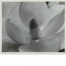 CUNNINGHAM, IMOGEN (1883-1976) Magnolia Blossom 1925.