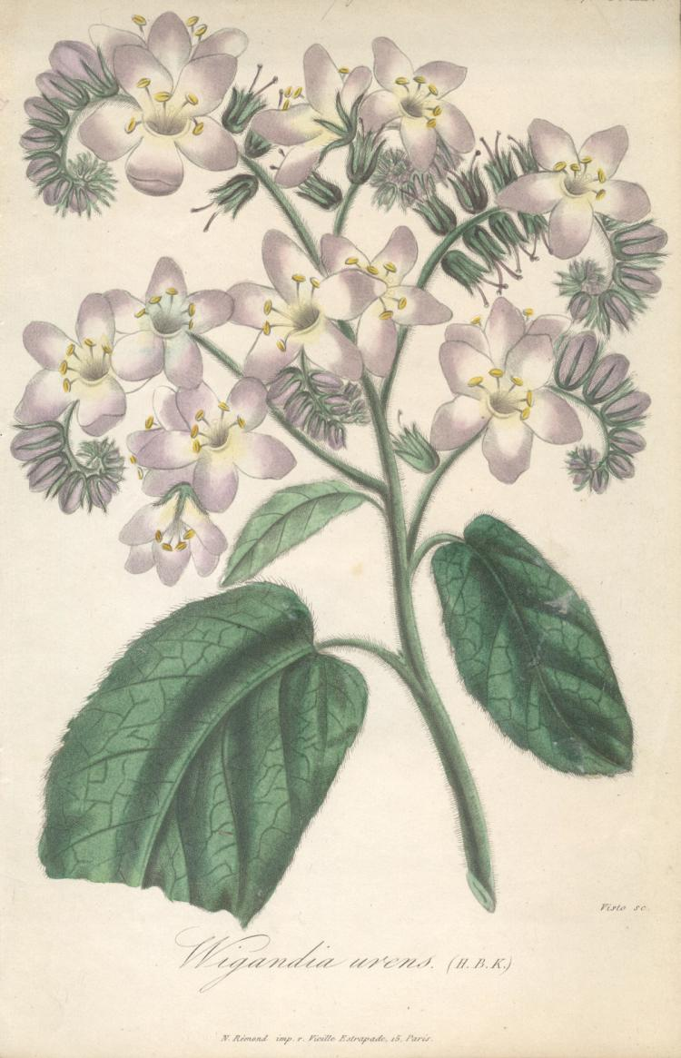 Francois Herincq - Wigandia urens (H.B.K.) - 1857