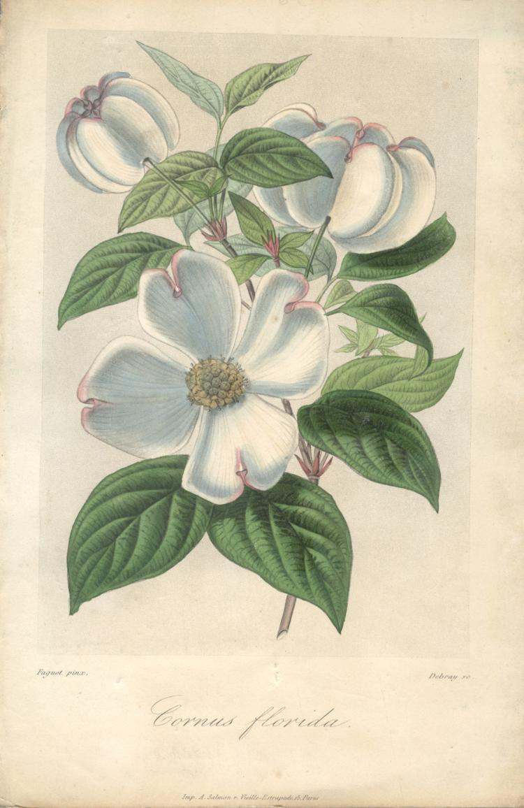 Francois Herincq - Cornus florida - 1863