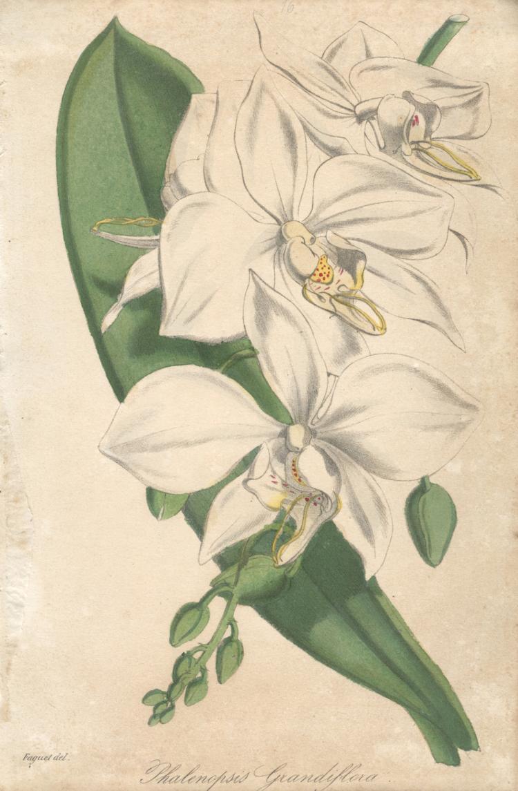 Francois Herincq - Phalenopsis Grandiflora