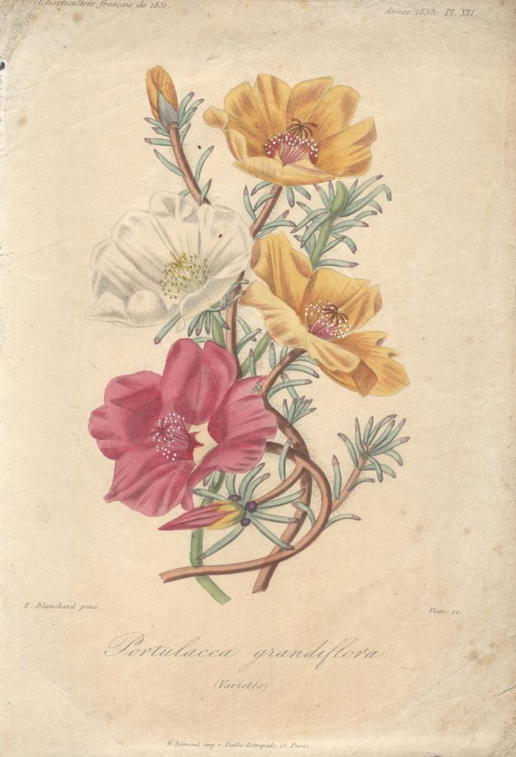 Francois Herincq - Portulacca grandiflora (varietes) - 1858