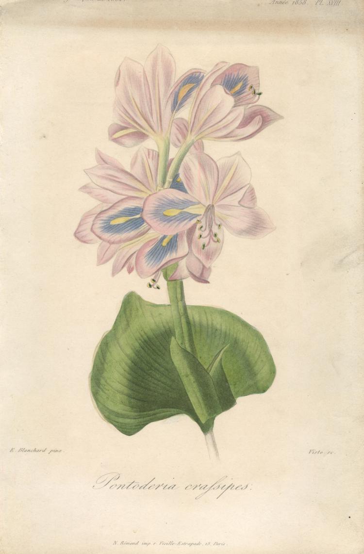 Francois Herincq - Pontoderia crafsipes - 1858
