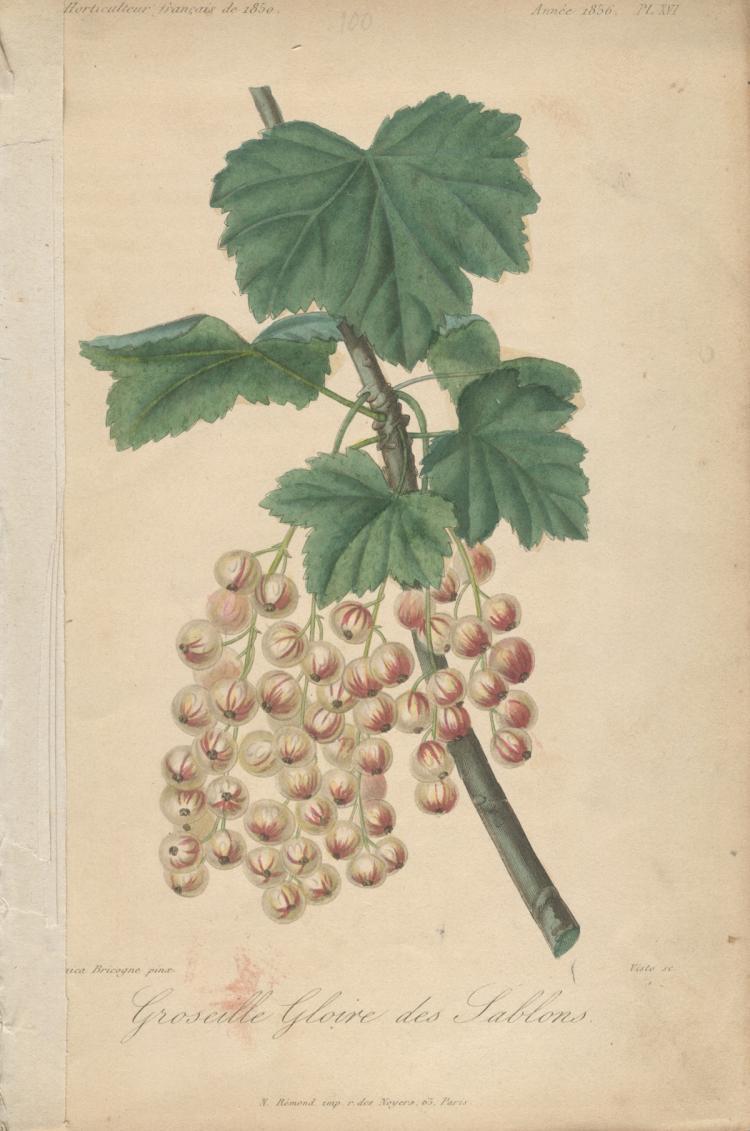 Francois Herincq - Groseille Gloire des Sablons - 1856