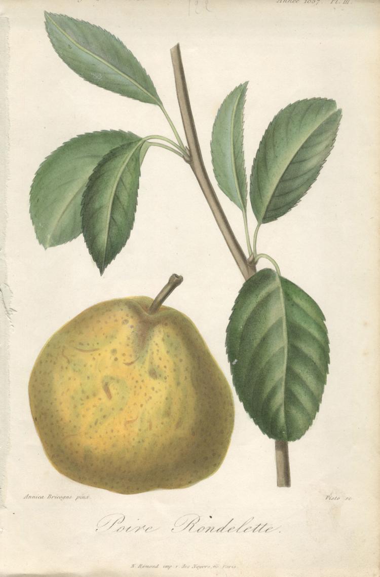 Francois Herincq - Poire Rondelette - 1857