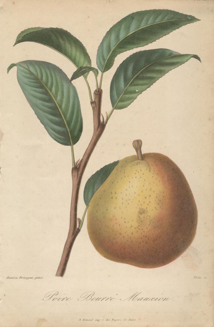 Francois Herincq - Poire Beurre Mauxion - 1855