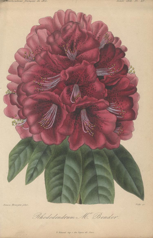 Francois Herincq - Rhododendron  Mr. Bender - 1856