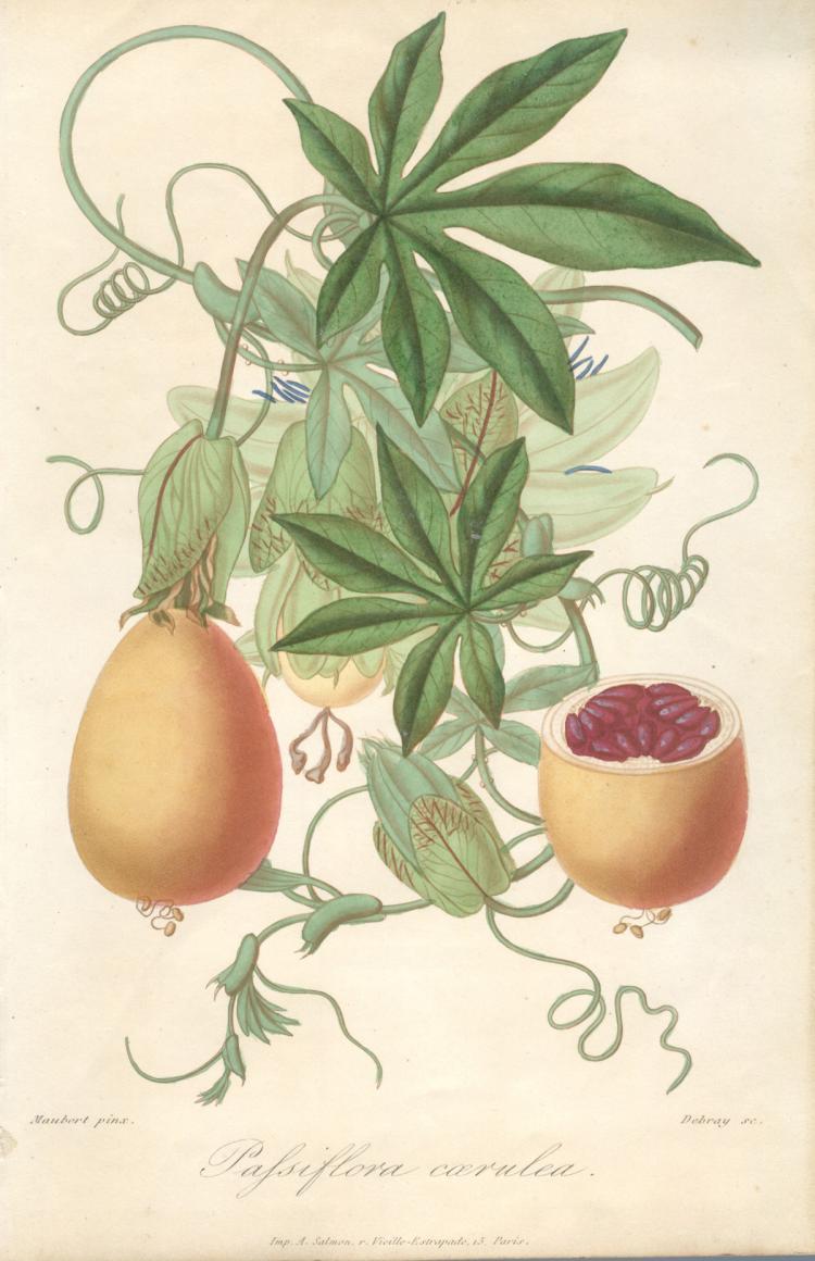 Francois Herincq - Pafsiflora Coerulea
