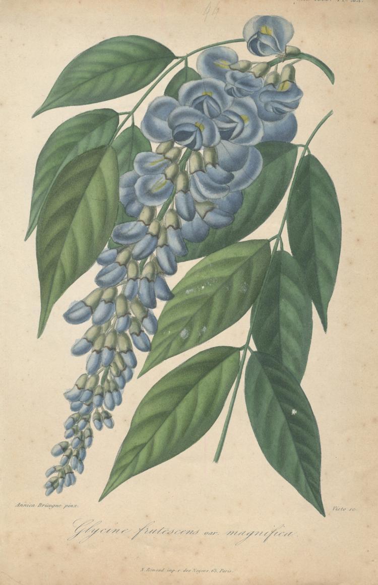 Francois Herincq - Glycine frutescens var magnifica - 1855