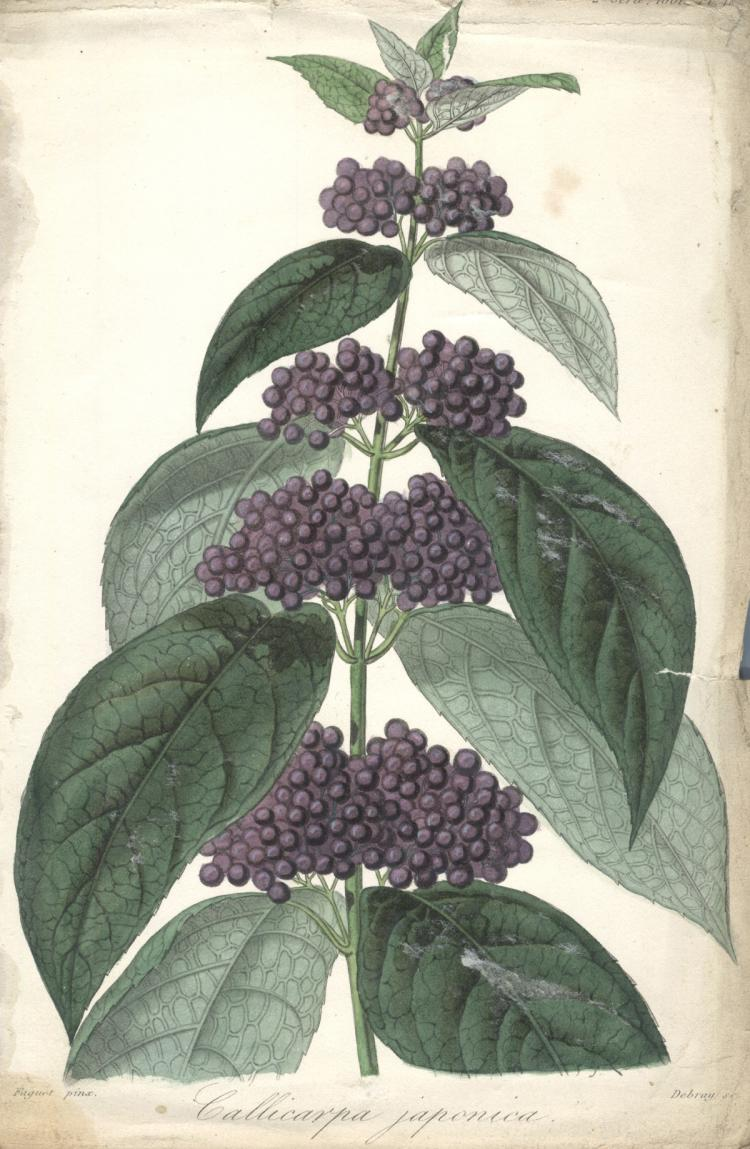 Francois Herincq - Callicarpa Japonica - 1861