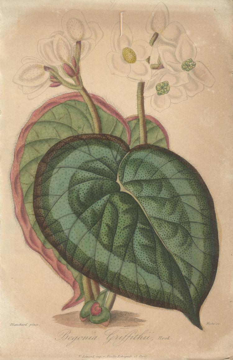 Francois Herincq - Begonia Griffithu, Hook