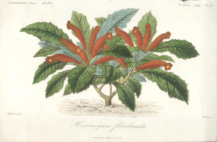 Francois Herincq - Hernicquia floribunda - 1864