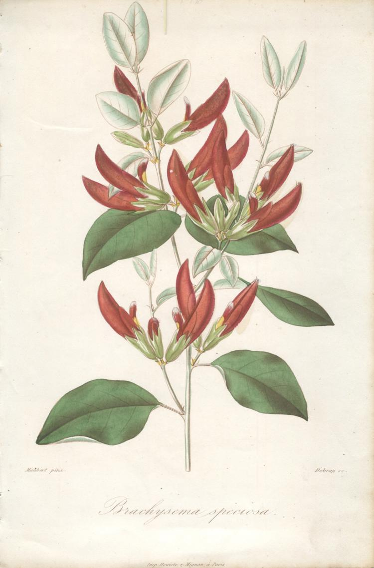 Francois Herincq - Brachysema speciosa