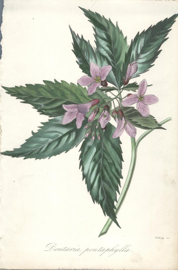 Francois Herincq - Dentaria pentaphylla - 1860
