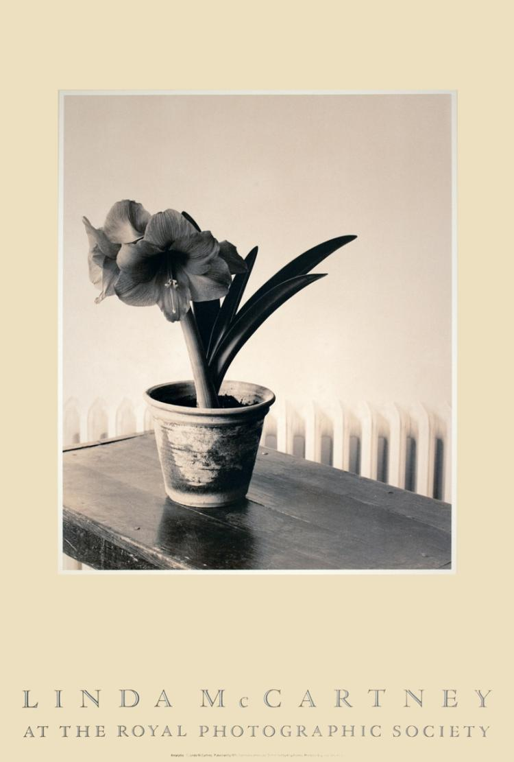 Linda McCartney - Amaryllis - 1983