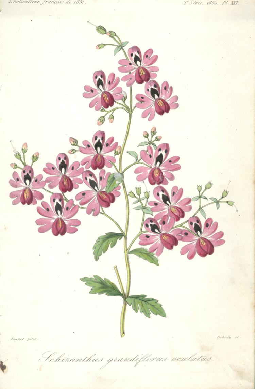 Francois Herincq - Schizanthus grandiflorus oculatus - 1860