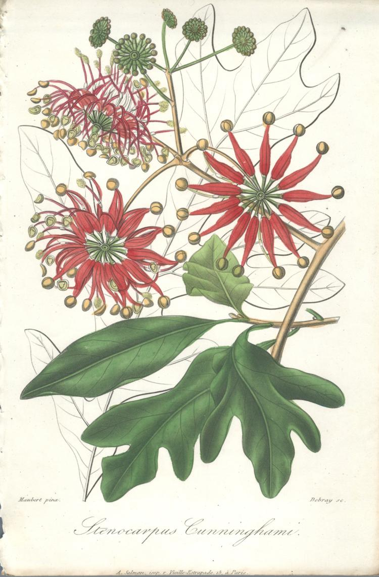 Francois Herincq - Stenocarpus Cunninghami - 1864