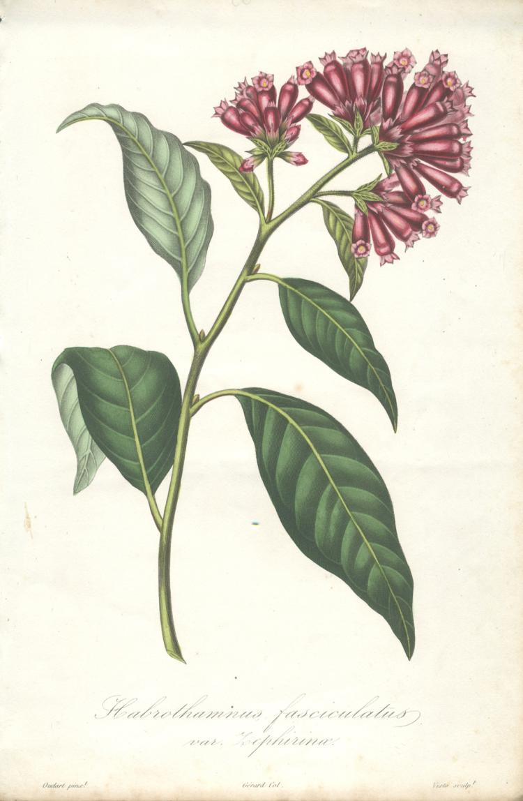 Francois Herincq - Malacothamnus fasciculatus var. Zephirine