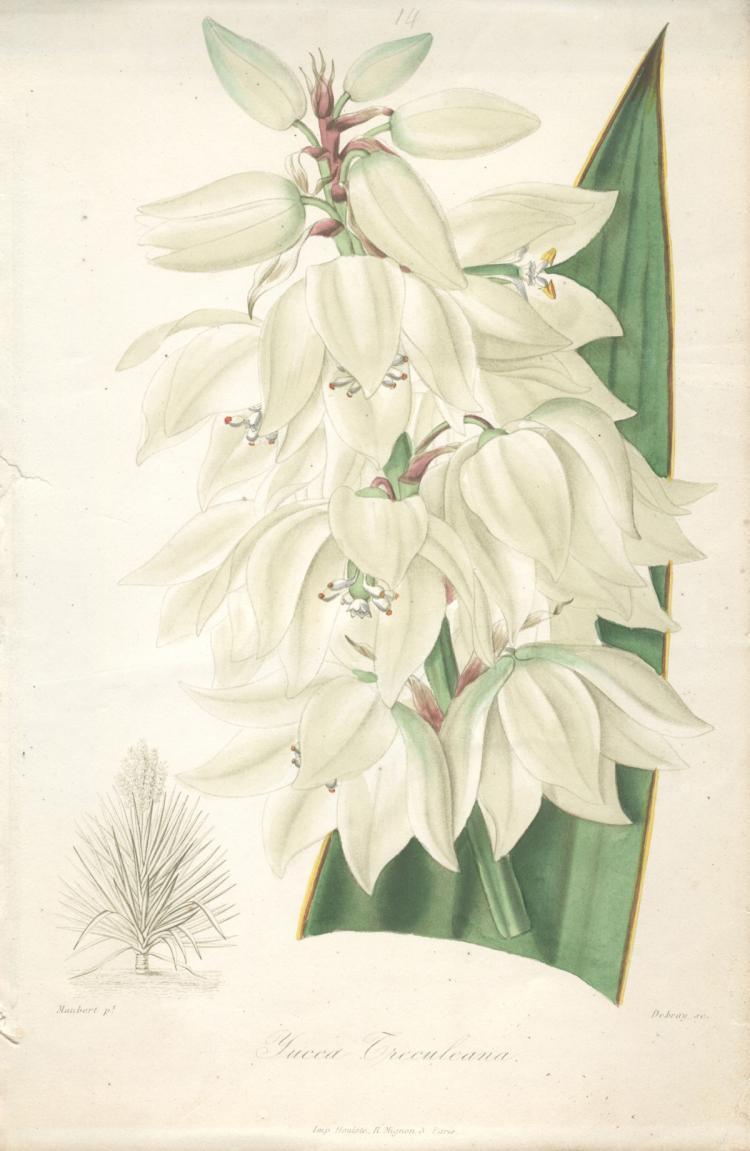 Francois Herincq - Yucca Treculrana - 1864