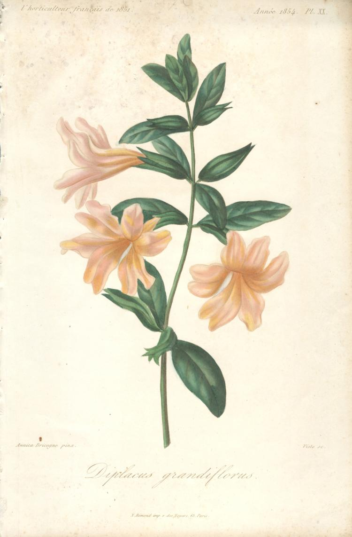 Francois Herincq - Diplacus grandiflorus - 1854