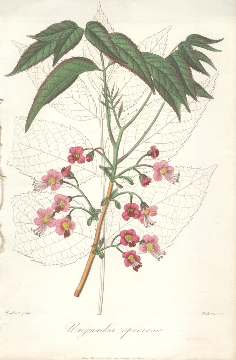 Francois Herincq - Ungnadia speciosa