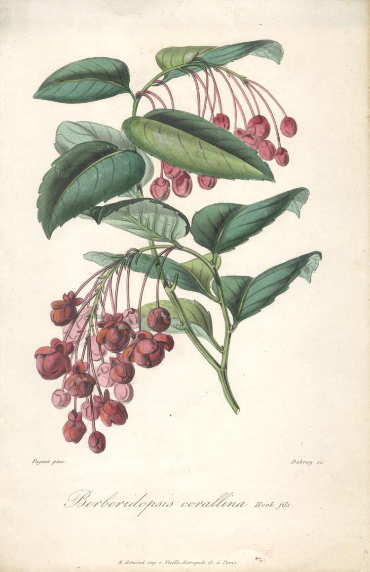 Francois Herincq - Berberidopsis corallina (Hook fils) - 1865