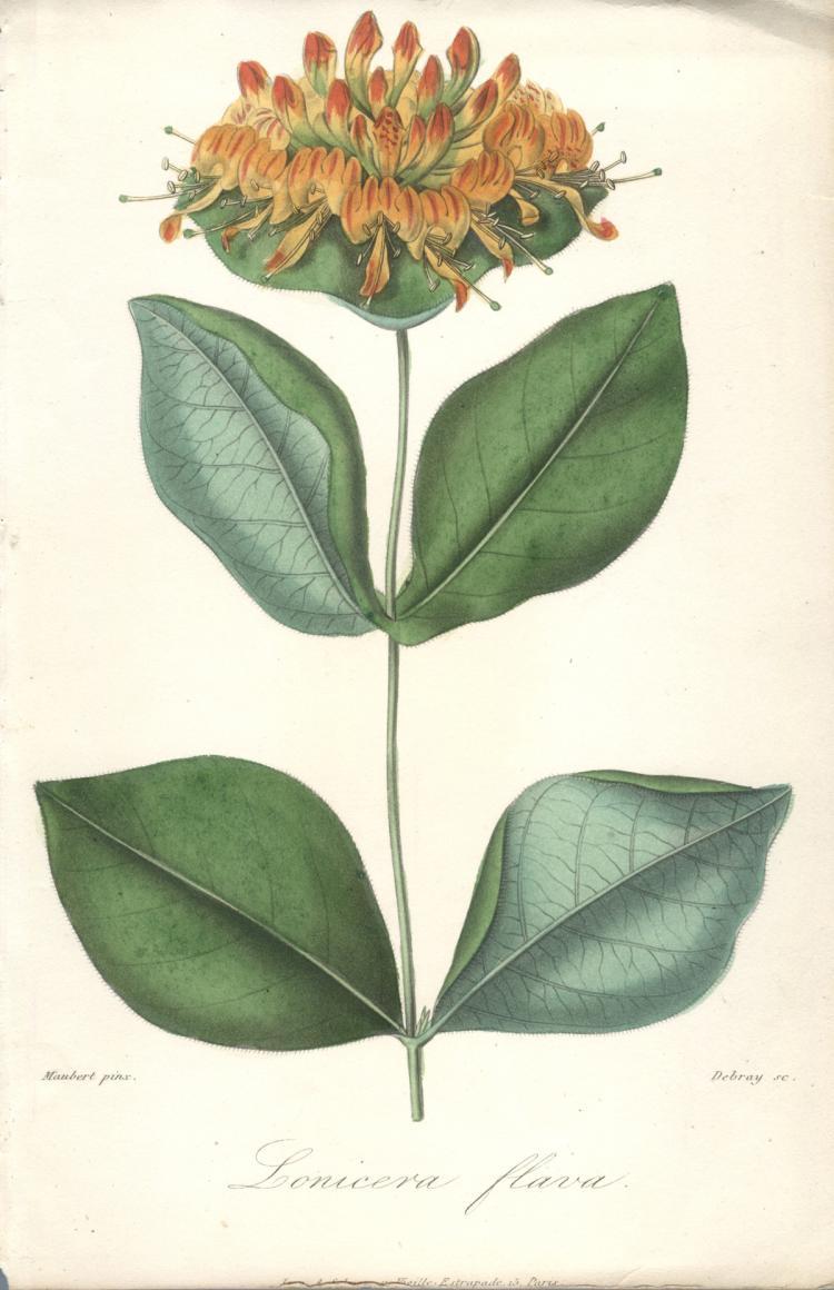 Francois Herincq - Lonicera flava