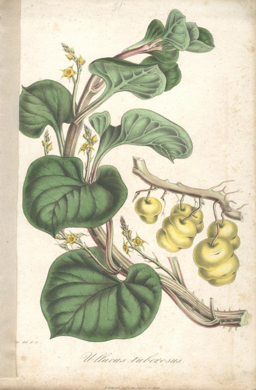 Francois Herincq - Ullucus tuberosus