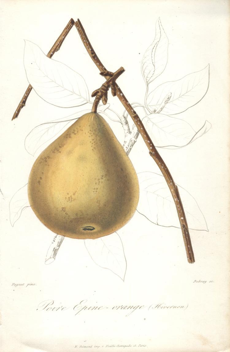 Francois Herincq - Poire Epine - Orange (Hivernon)