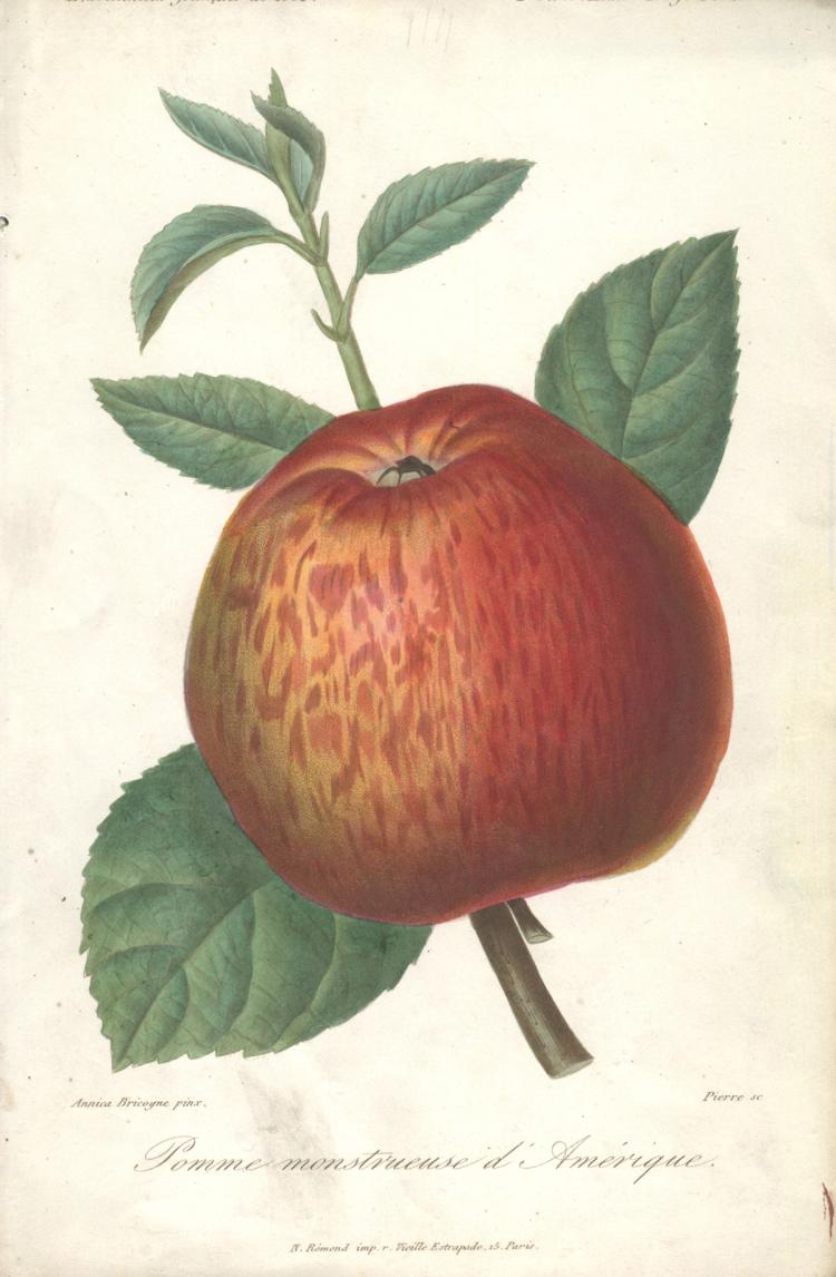 Francois Herincq - Pomme monstruese d'Amerique - 1859