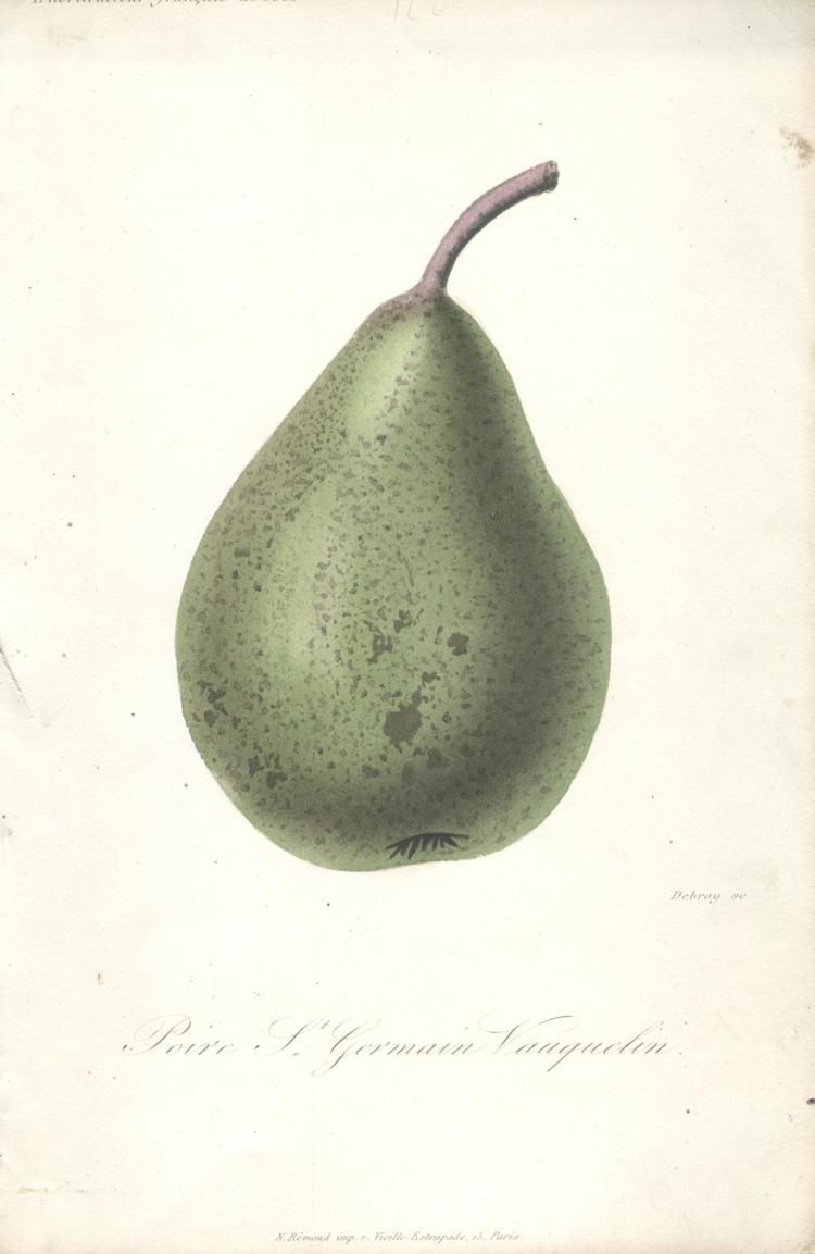 Francois Herincq - Poire St Germain Vauquelin - 1862