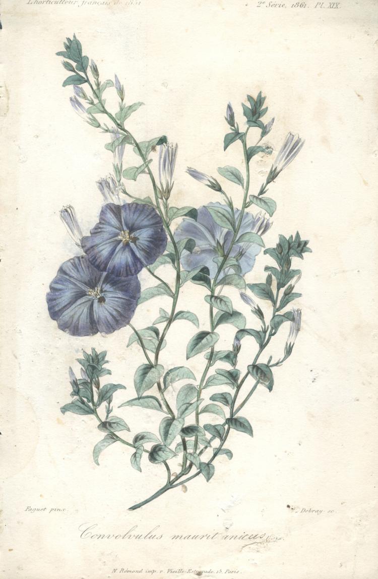 Francois Herincq - Convolvulus mauritanicus - 1861