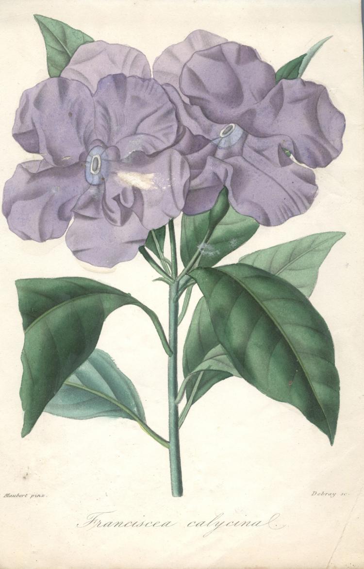 Francois Herincq - Franciscea calycinal - 1863