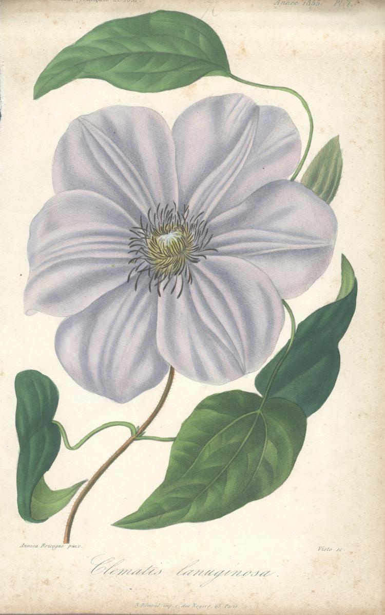 Francois Herincq - Clematis lanuginosa - 1855