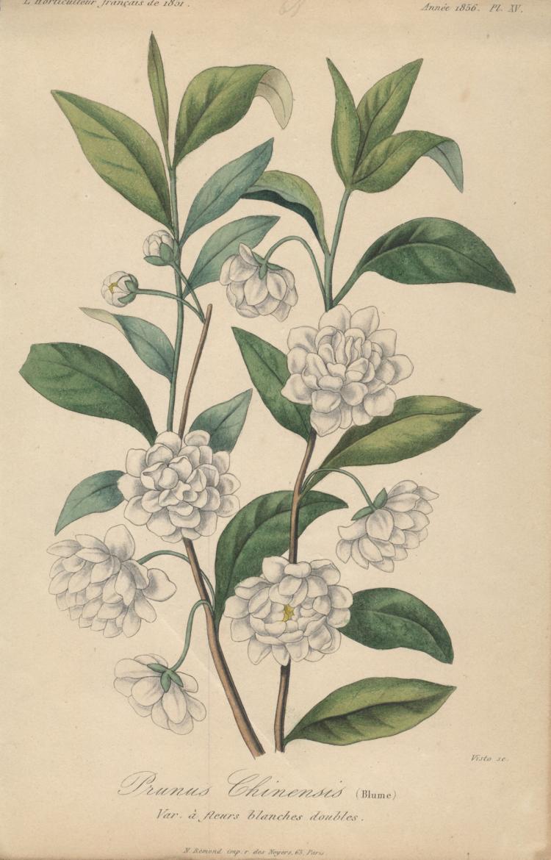 Francois Herincq - Prunus Chinensis (Blume), Var a fleurs blanches doubles