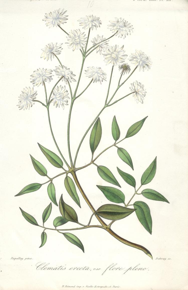 Francois Herincq - Clematis erecta, var flore pleno - 1860
